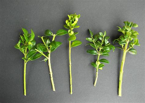 buchsbaum wann schneiden buchsbaum selber vermehren eigene anzucht hecken