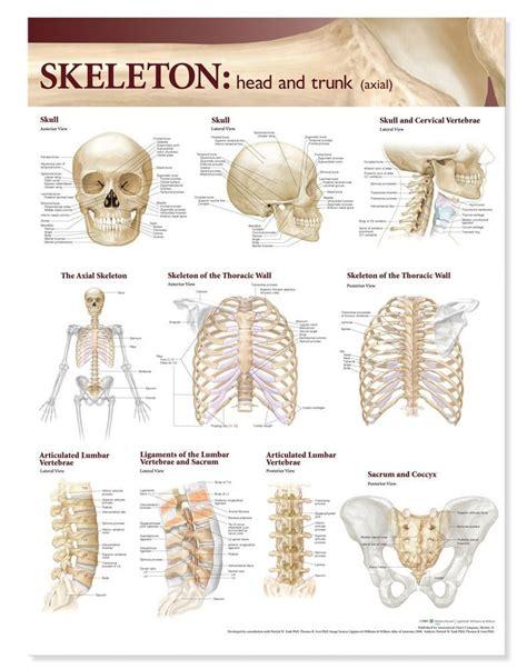 skeleton anatomy anatomy chart atlas of anatomy trunk skeletal