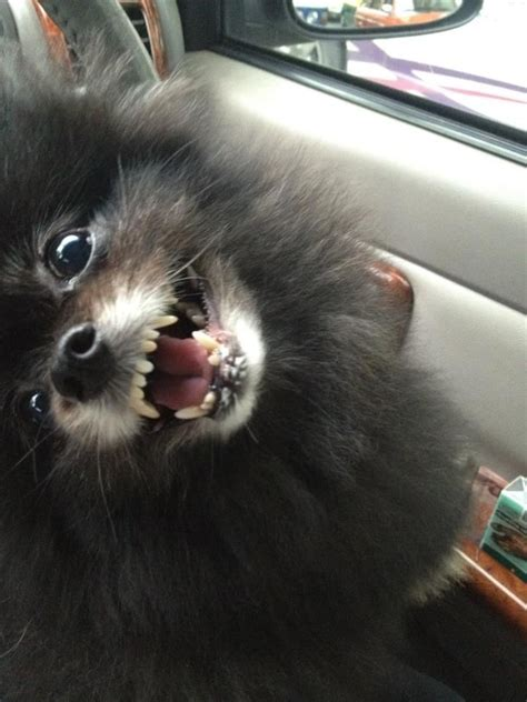 pomeranian puppies for sale 300 pomeranian pug mix puppies for sale breeds picture