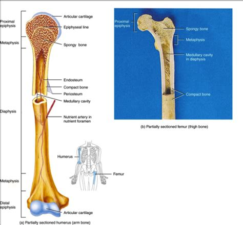 osseous tissue diagram chapter 6 osseous tissue and bone structures human