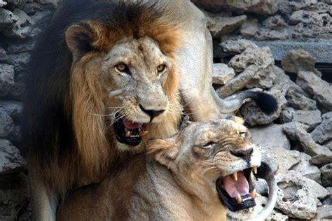 imágenes de leones juntos sacrifican a dos leones en un zoo para evitar que atacaran
