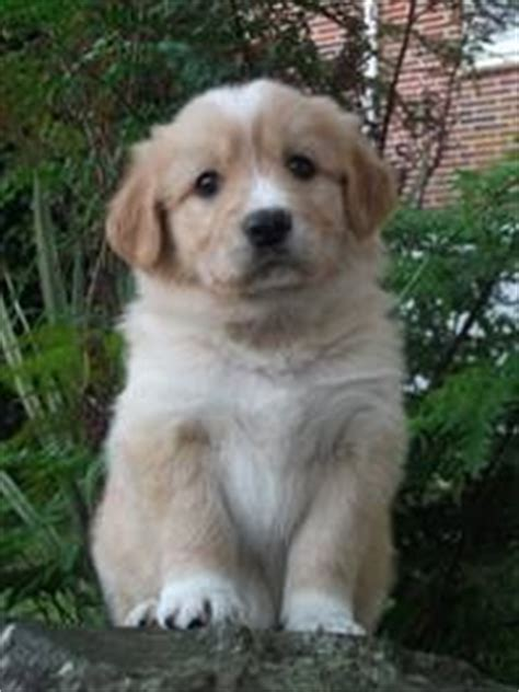 golden retriever x border collie puppies 1000 ideas about border collie mix on dogs for adoption terrier mix and