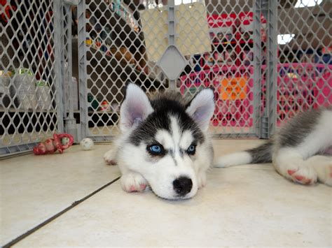 craigslist husky puppies siberian husky puppies dogs for sale in southaven county mississippi ms