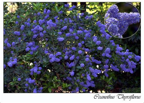 flowering evergreen shrubs a guide to adding blue flowering plants to your garden