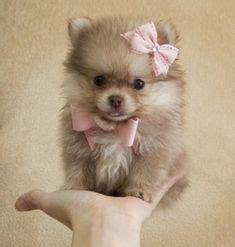 haircuts for dogs in andrews texas our new pomapoo puppy named braidy cute girls hairstyles