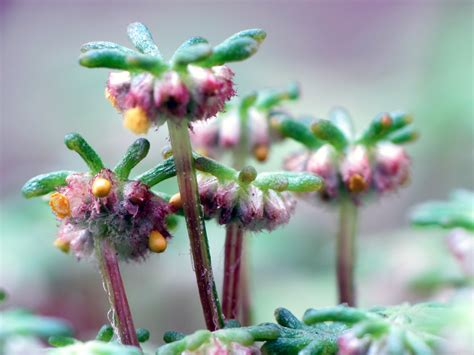 marchantia sporangia sexual reproduction  marchantia  flickr