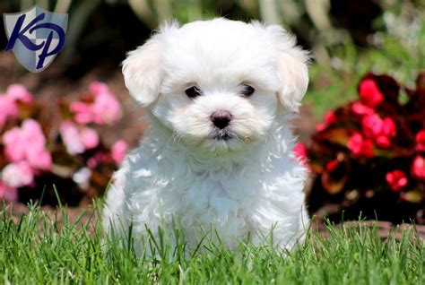 maltichon puppies pin bichon maltese mix puppies on