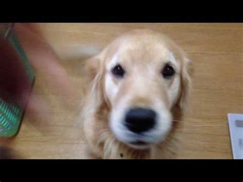 guilty golden retriever denver plays it cool doovi