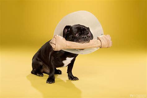 Cone Of Shame L by Des Chiens Des Collerettes Des Photos Aussi Amusantes Qu