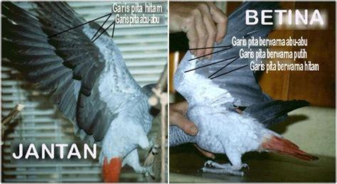 Alat Tes Dna Burung penangkaran nuri abu abu si pintar dari afrika klub burung