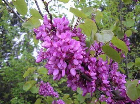 fiori albero di giuda albero di giuda cercis siliquastrum cercis