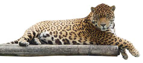 imagenes jaguar you leopard png