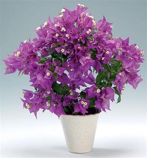 Flowering Climbing Plants - plants amp flowers 187 bougainvillea glabra