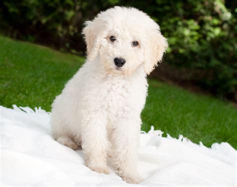 mini goldendoodle karakter allergiker hunde eigener hund trotz allergie kalaydoskop