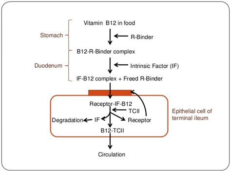 r protein in b12 absorption megaloblastic anaemia vit b12 deficiency