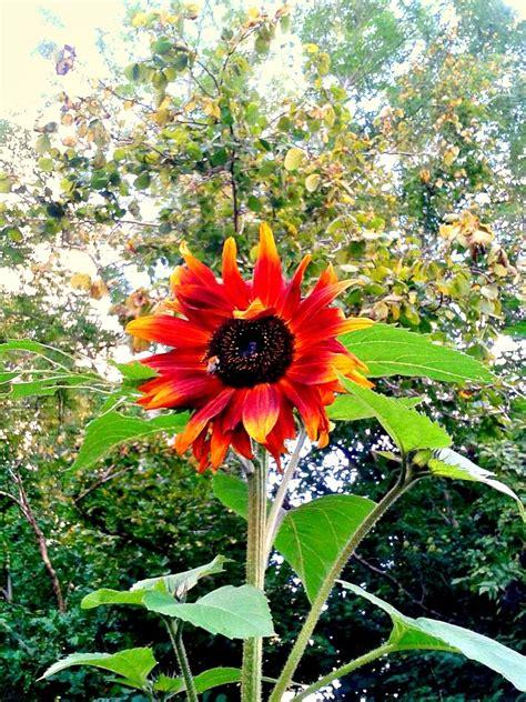 Red Sunflower Garden Ideas Pinterest Sunflower Garden Ideas