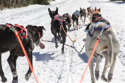 how are sled dogs trained pictures endurance kennels llc