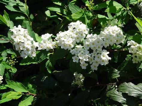 arbustos de jardin con flor arbustos de jardin con flor mahonia with arbustos de
