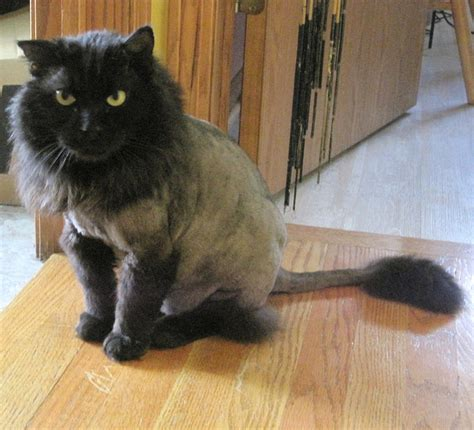 haircut for long hair cat why you should get your cat a lion cut this summer