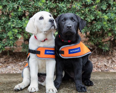 new puppy guide lend a paw and volunteer to raise a guide puppy indian link