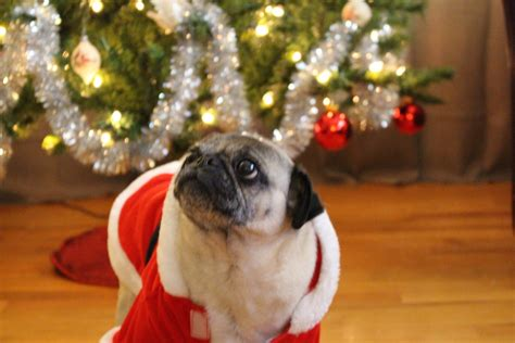 merry pug merry from nickie the pug about pug