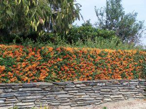 nomi di siepi da giardino 10 piante ideali per siepi da giardino