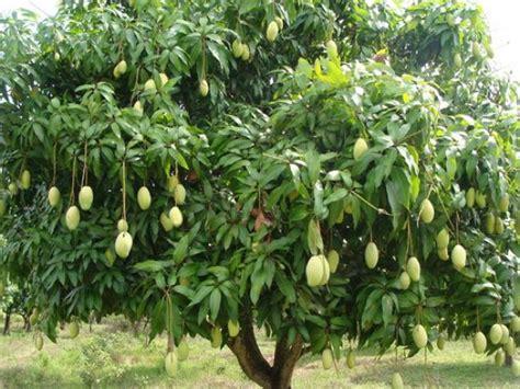mango tree with fruits mangotree gallery