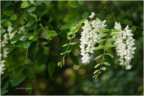 fiori di acacia frittelle di fiori di acacia panelibrienuvole