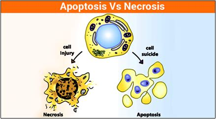apoptosis and necrosis difference between apoptosis