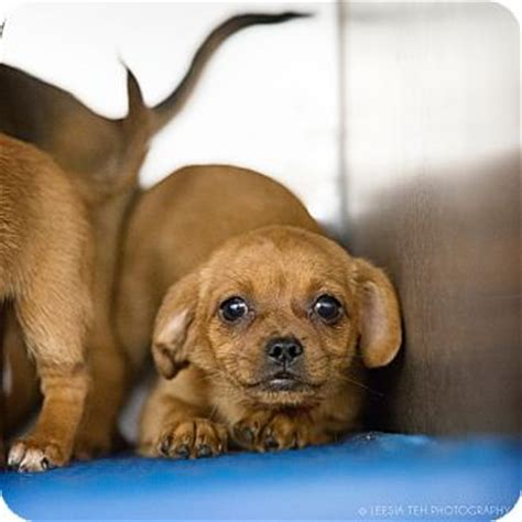 pugs for adoption in ga small breed puppies adopted puppy marietta ga chihuahua pug mix