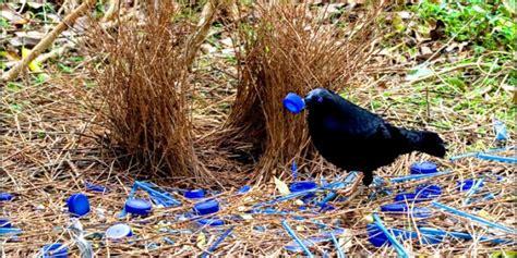 uccello giardiniere uccello giardiniere un artista naturale biopills