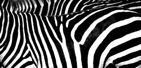 zebra like pattern zebra skin singida tanzania travellerspoint travel