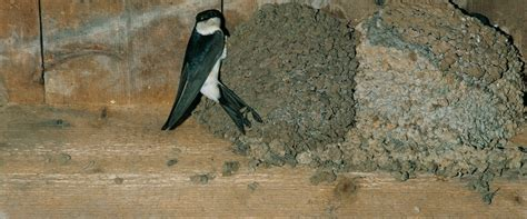 house martin the rspb house martin
