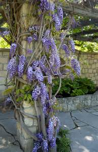 wistful for wisteria igardendaily
