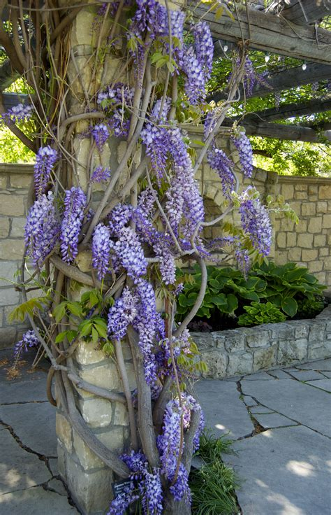 wisteria igardendaily