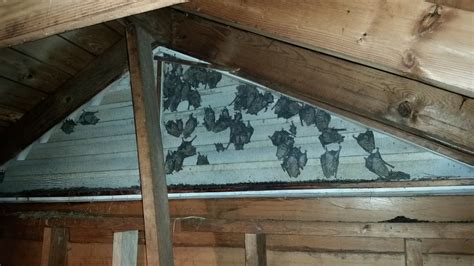 attic area new braunfels bat removal critter control in new