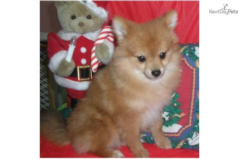 pomeranian puppies rochester ny pomeranian for sale for 800 near rochester new york 9d53ec82 7991