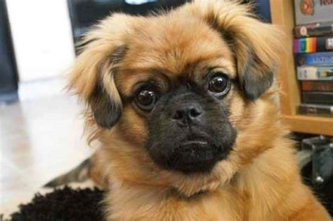 pug mixes pom a pug pomeranian pug mix info temperament puppies pictures