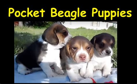 miniature beagle puppies for sale miniature pocket beagle puppies for sale tiny beagles