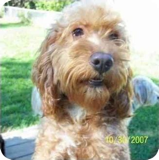 shih tzu and furbaby rescue ohio furbaby rescue in dayton ohio breeds picture
