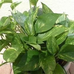 vine house plants the 7 best houseplants for low light conditions plant
