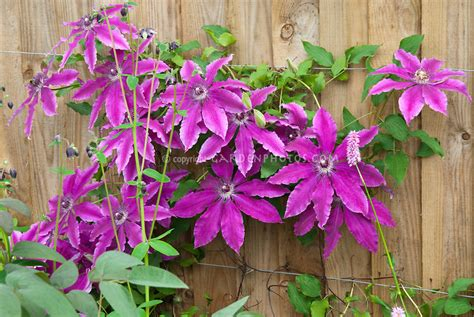 large flowered climbing plant clematis barbara dibley plant flower stock photography