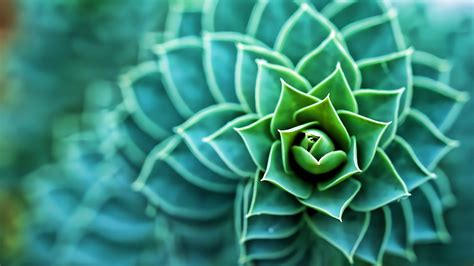 succulents plants macro wallpapers hd desktop