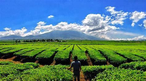 teh kayu aro jambi perkebunan teh tertua di indonesia