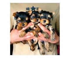 teacup yorkie for sale in chicago loving teacup yorkie ready for rehomeccc animals chicago illinois