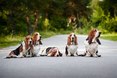 basset hound puppies for sale wi basset hound breederssiggy s paradise