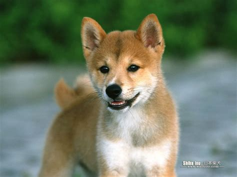 shiba puppy shiba inu dogs wallpaper 13788939 fanpop