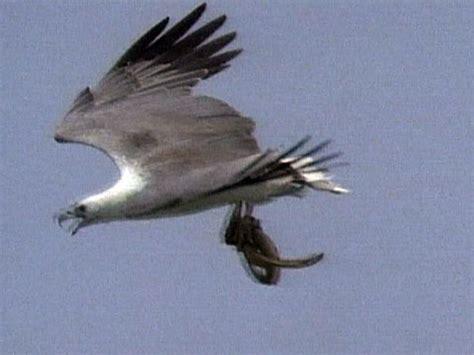 Tshirt Natgeo Wildlife white bellied sea eagle hunts
