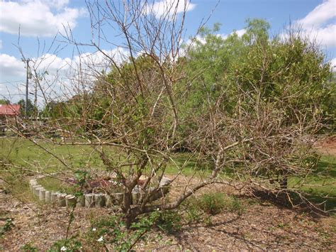 Southern Gardens Citrus by Southern Gardening Citrus Blackberries Great Choices For