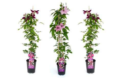 different types of climbing plants wyeplants the climbing plant specialist